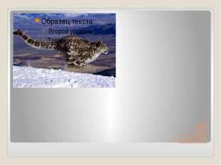 От головы до хвоста ирбис насчитывает 140 см, сам хвост имеет длину 90- 100см
