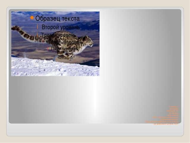 От головы до хвоста ирбис насчитывает 140 см, сам хвост имеет длину 90- 100см...