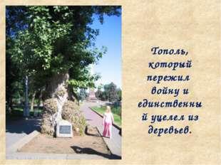 Тополь, который пережил войну и единственный уцелел из деревьев.