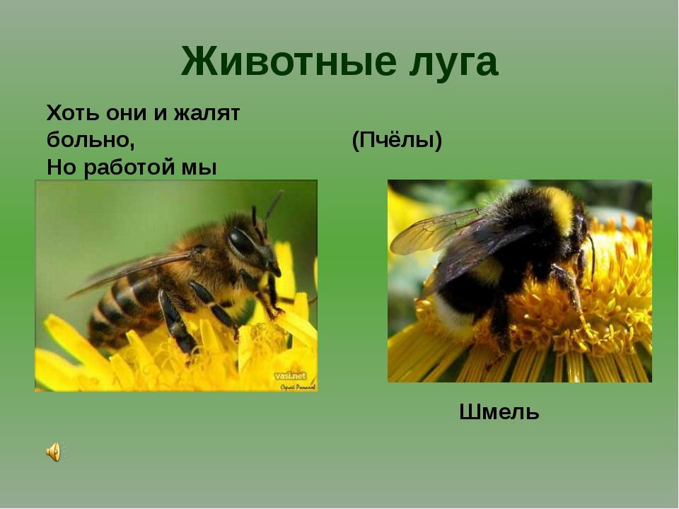 Животные луга Хоть они и жалят больно, Но работой мы довольны. (Пчёлы) Шмель
