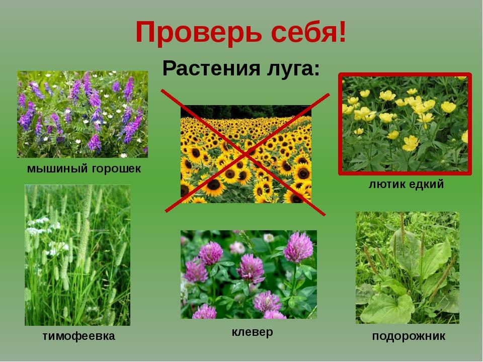 Проверь себя! Растения луга: мышиный горошек тимофеевка клевер подорожник лют...