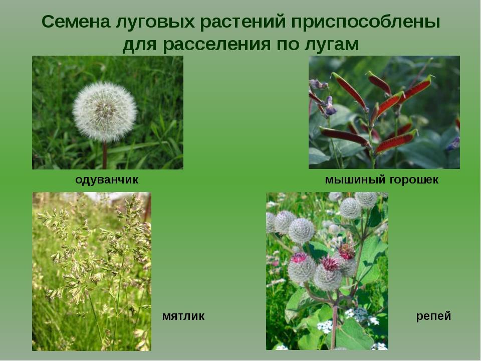 Семена луговых растений приспособлены для расселения по лугам одуванчик репей...