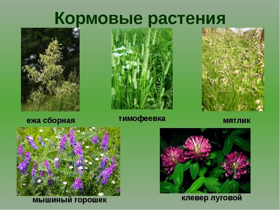 Кормовые растения мятлик ежа сборная тимофеевка мышиный горошек клевер луговой