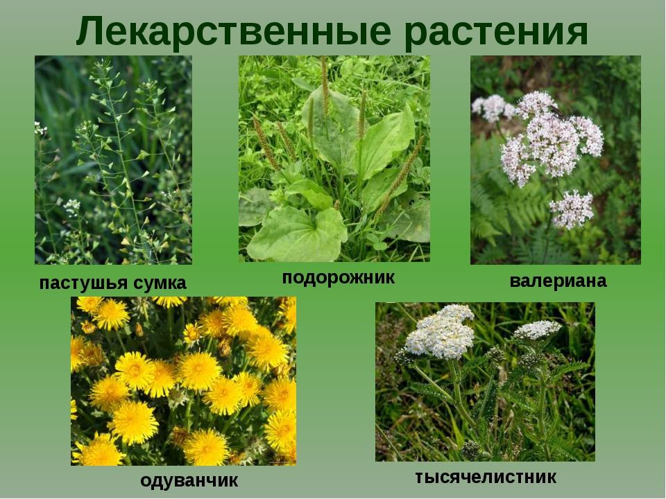 Лекарственные растения валериана тысячелистник подорожник пастушья сумка одув...