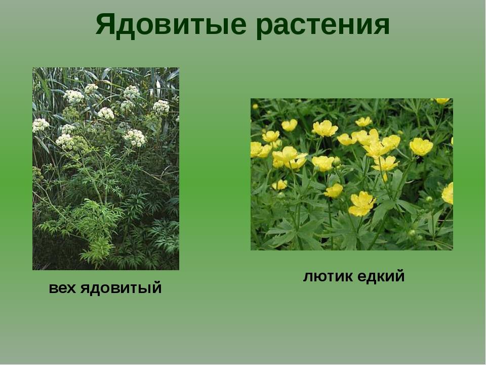 Ядовитые растения вех ядовитый лютик едкий