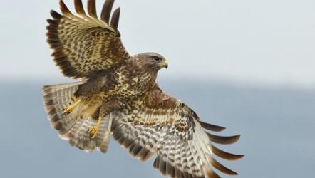 ястреб, птицы, ястребы, Скачать Обои и Фото