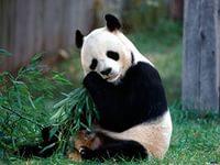 панда1.jpg