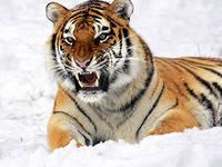 тигр1.jpeg