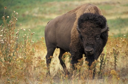 Bison bison Picture Gallery - Photo Gallery - Images