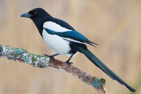 Птицы Online. . Учет и наблюдения птиц.