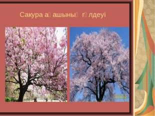 Сакура ағашының гүлдеуі
