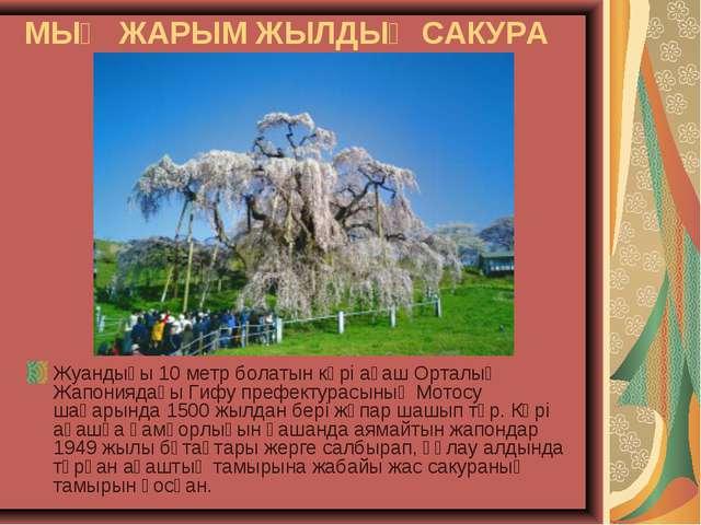 МЫҢ ЖАРЫМ ЖЫЛДЫҚ САКУРА Жуандығы 10 метр болатын кәрі ағаш Орталық Жапониядағ...