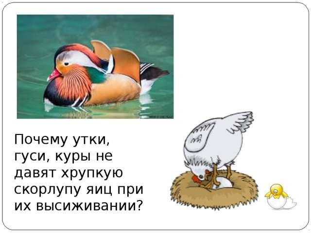 Почему утки, гуси, куры не давят хрупкую скорлупу яиц при их высиживании?