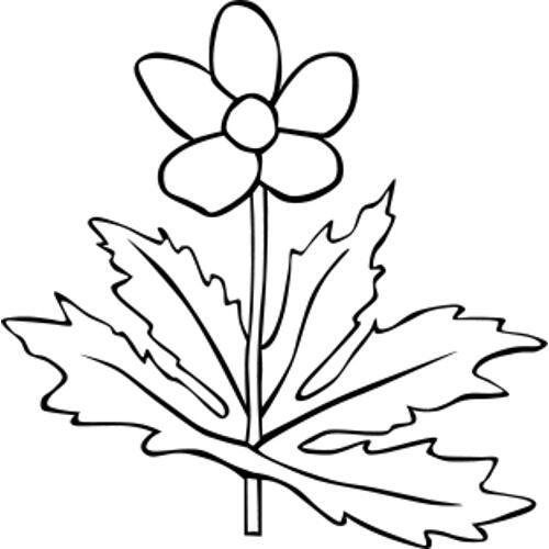 Анемона канадская - раскраска, распечатать бесплатно