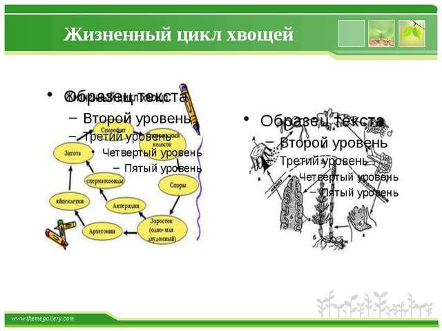 Жизненный цикл хвощей www.themegallery.com