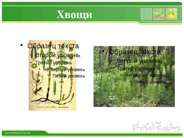 Хвощи www.themegallery.com