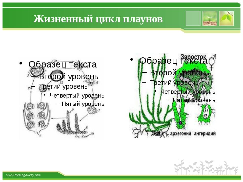 Жизненный цикл плаунов www.themegallery.com