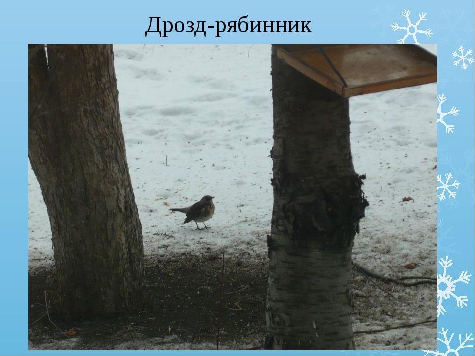 Дрозд-рябинник