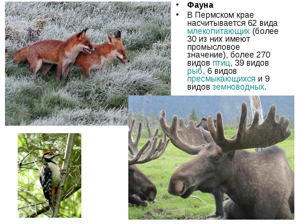 Фауна В Пермском крае насчитывается 62 вида млекопитающих (более 30 из них им...
