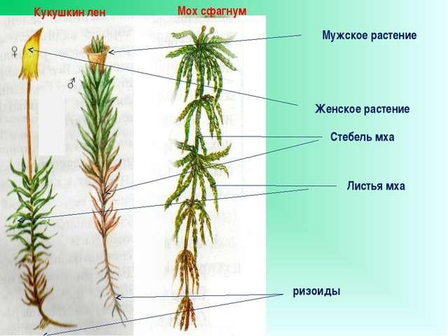 Мох сфагнум Кукушкин лен Мужское растение Женское растение Стебель мха ризои...