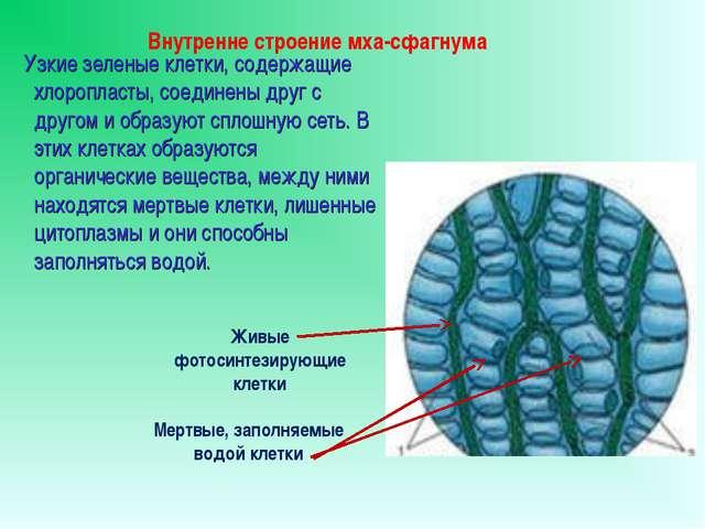 Узкие зеленые клетки, содержащие хлоропласты, соединены друг с другом и обра...