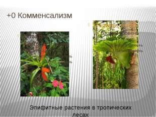 +0 Комменсализм Эпифитные растения в тропических лесах