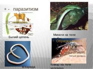 + - паразитизм Миноги на теле рыбы Комар на теле человека Бычий цепень аскар