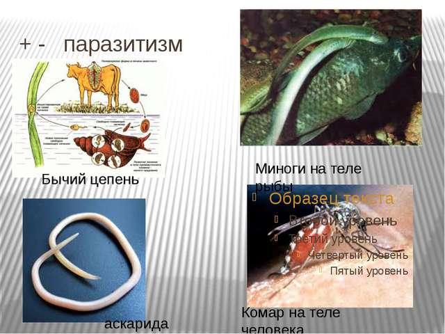 + - паразитизм Миноги на теле рыбы Комар на теле человека Бычий цепень аскар...