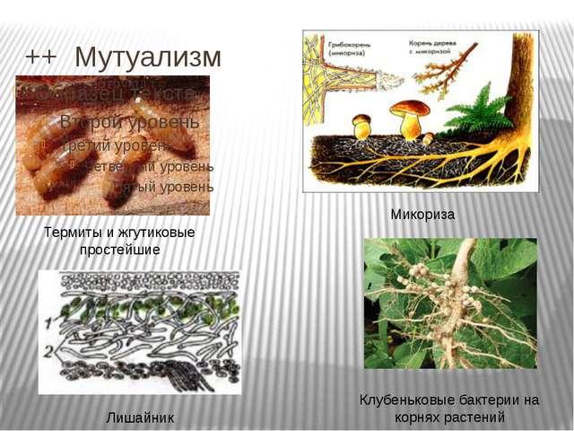 ++ Мутуализм Термиты и жгутиковые простейшие Микориза Клубеньковые бактерии н...