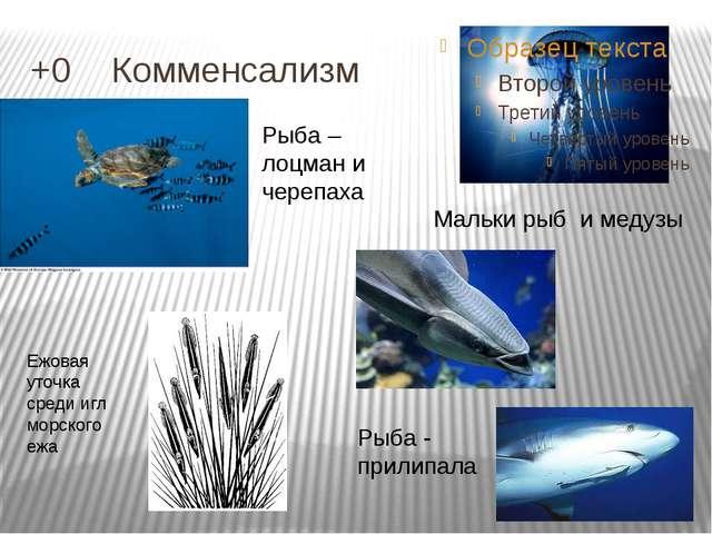 +0 Комменсализм Мальки рыб и медузы Рыба - прилипала Рыба – лоцман и черепах...