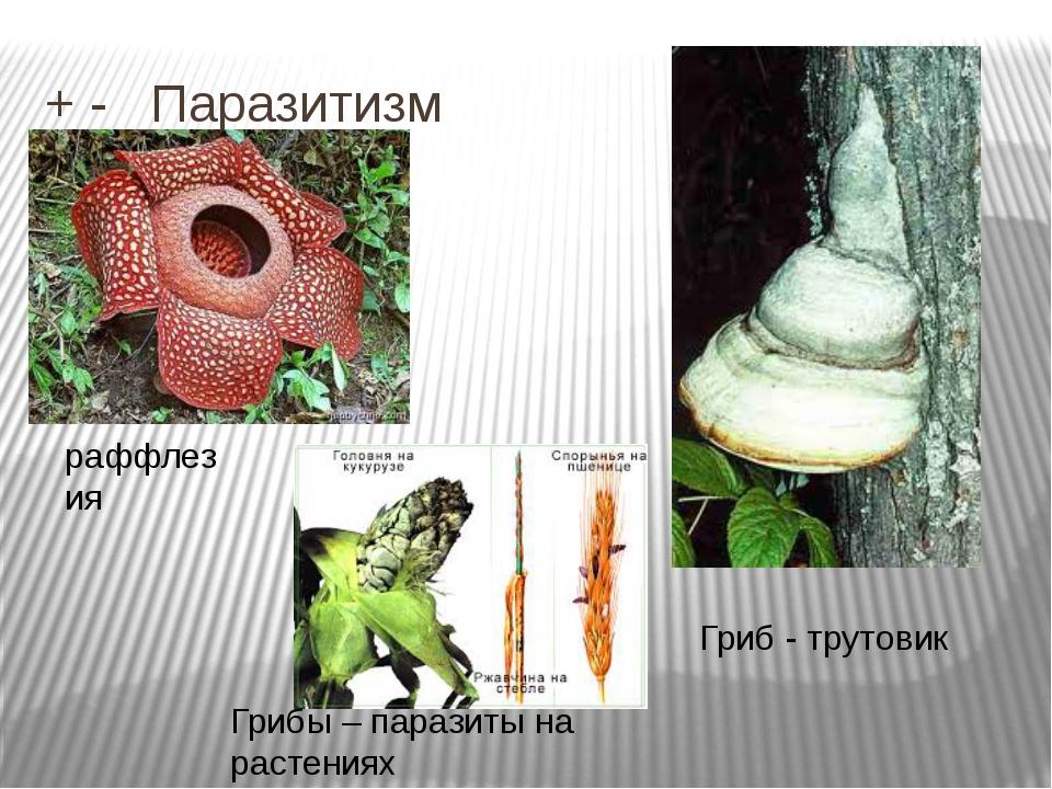 + - Паразитизм Гриб - трутовик Грибы – паразиты на растениях раффлезия