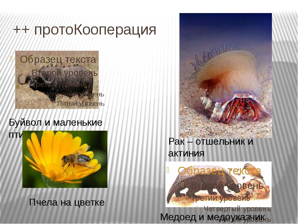 ++ протоКооперация Рак – отшельник и актиния Буйвол и маленькие птицы Медоед...