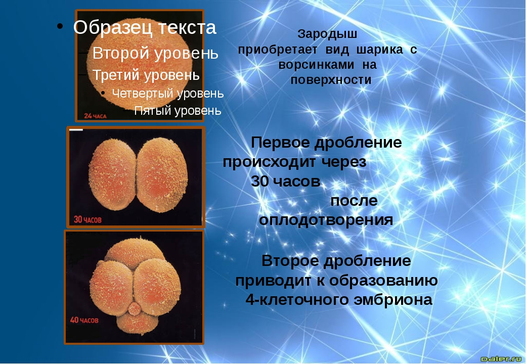 Зародыш приобретает вид шарика с ворсинками на поверхности Первое дроб...