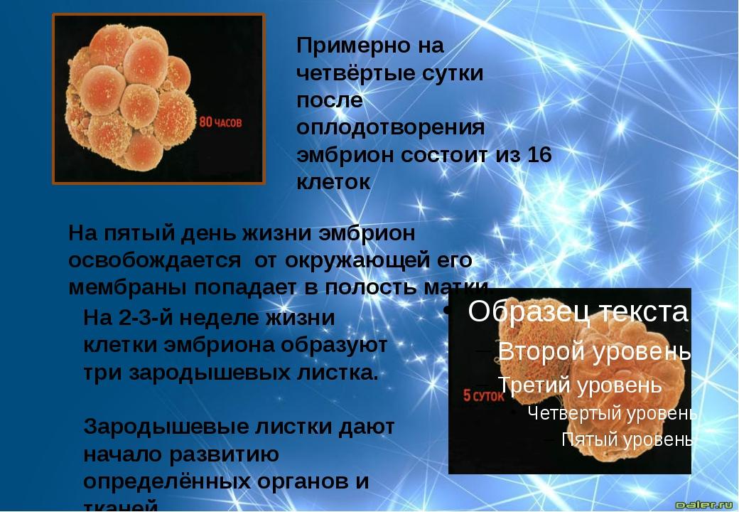 Примерно на четвёртые сутки после оплодотворения эмбрион состоит из 16 клеток...