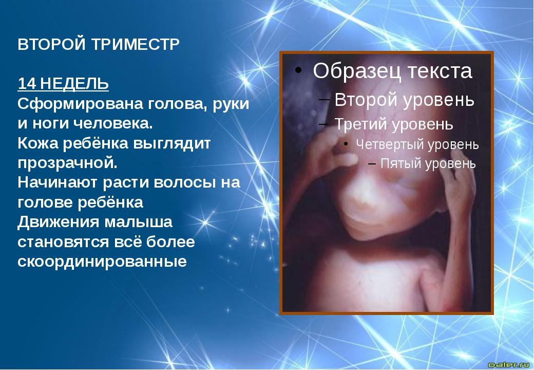 ВТОРОЙ ТРИМЕСТР  14 НЕДЕЛЬ Сформирована голова, руки и ноги человека. Кожа р...