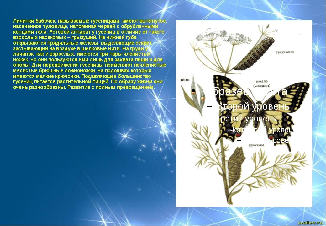 Личинки бабочек, называемые гусеницами, имеют вытянутое, насеченное туловище,...