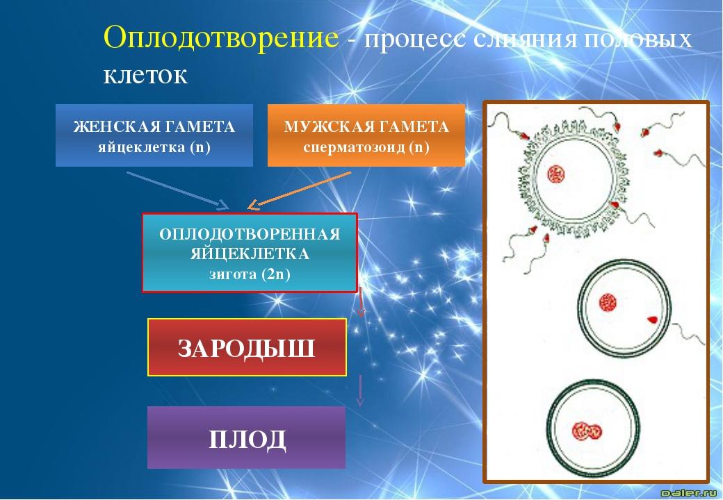 Оплодотворение - процесс слияния половых клеток МУЖСКАЯ ГАМЕТА сперматозоид (...