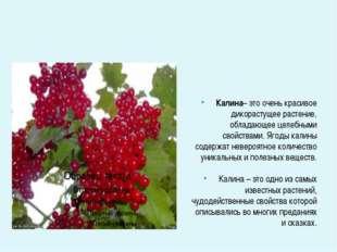 Калина– это очень красивое дикорастущее растение, обладающее целебными свойс
