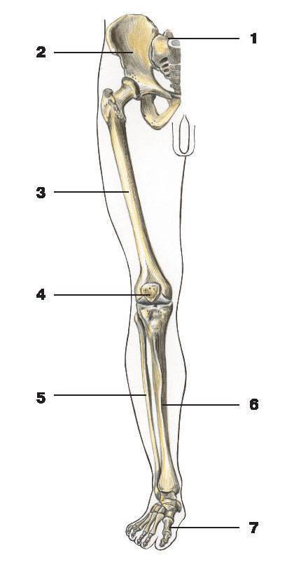http://img.encyc.yandex.net/illustrations/anatomy/pictures/039.jpg