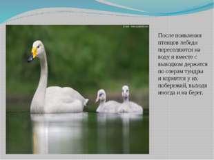 После появления птенцов лебеди переселяются на воду и вместе с выводком держа