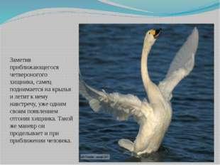 Заметив приближающегося четвероногого хищника, самец поднимается на крылья и