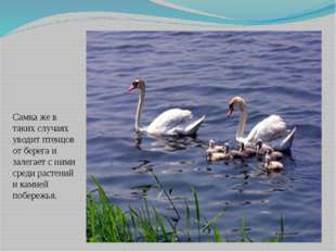 Самка же в таких случаях уводит птенцов от берега и залегает с ними среди рас