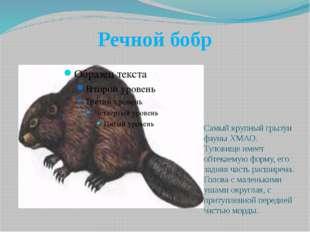 Речной бобр Самый крупный грызун фауны ХМАО. Туловище имеет обтекаемую форму,