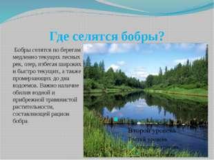 Где селятся бобры? Бобры селятся по берегам медленно текущих лесных рек, озер