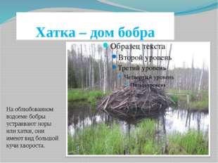 Хатка – дом бобра На облюбованном водоеме бобры устраивают норы или хатки, он