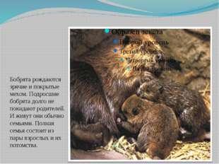 Потомство Бобрята рождаются зрячие и покрытые мехом. Подросшие бобрята долго