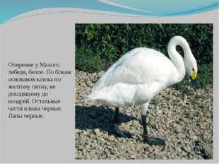 Оперение у Малого лебедя, белое. По бокам основания клюва по желтому пятну, н