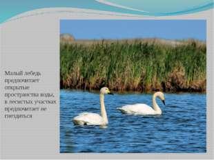 Малый лебедь предпочитает открытые пространства воды, в лесистых участках пре