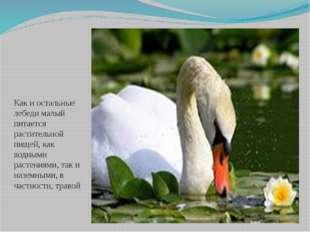 Как и остальные лебеди малый питается растительной пищей, как водными растени