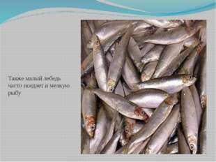 Также малый лебедь часто поедает и мелкую рыбу